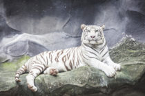 WHITE TIGER Goes For Third Leg This Week in Historic Same-Year Grand Slam